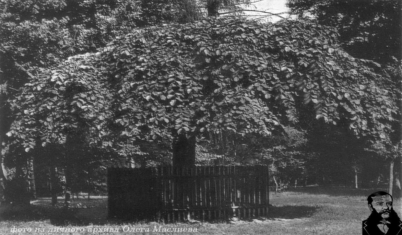 Ильм голый или вяз голый. Гибридная порода вяза плакучего и вяза шершавого. Фото дерева